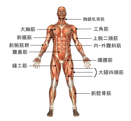 musclechart-front